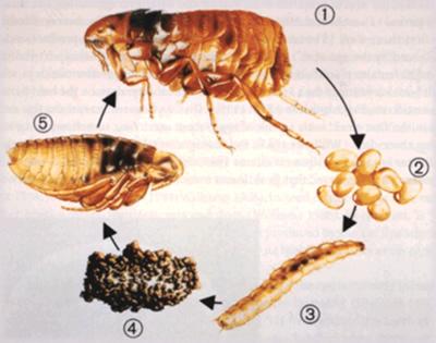 Remédio caseiro para controle de pulgas (2/2)