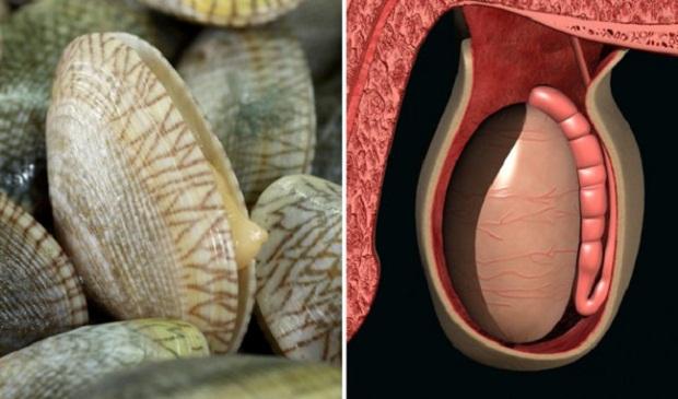 Marisco - testículos