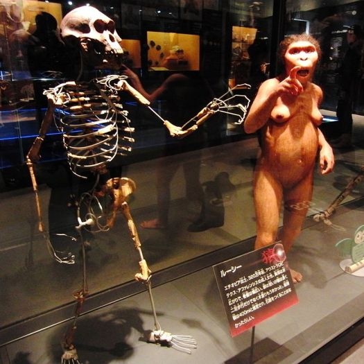 Skeleton_and_restoration_model_of_Lucy-in-japan