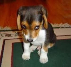 linguagem-canina-filhote-canil-cachorro-cachorrinho-planeta-filhotes-33-300x284
